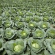 Stock Photo: Cabbages