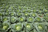 Cabbages — Stock Photo