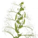 Plant peas — Stock Photo