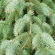 Green needles of a coniferous tree as a natural background - Stock Photo