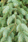 Green needles of a coniferous tree as a natural background — Stock Photo