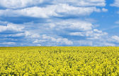 Bright yellow flower field against the blue cloudy sky — Stock Photo