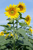 Yellow sunflowers against a blue clear sky — Stock Photo
