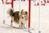 Shetland in agility — Stock Photo