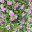 Rosa banksiae rosea — Stock Photo