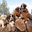 Puppies boxer — Stock Photo #10964454