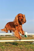 Cocker spaniel in agility — Stock Photo