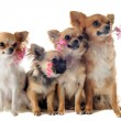 Four chihuahuas and flowers — Stock Photo #11270935