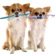 Chihuahuas and toothbrush — Stock Photo #11271011