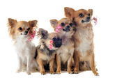 Four chihuahuas and flowers — Stock Photo