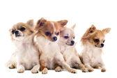 Chihuahuas — Stockfoto