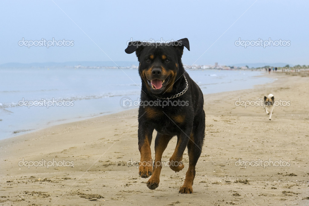Portrait of a purebred rottweiler running on the beach — Lizenzfreies Foto #11344657