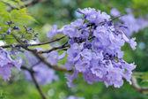 Jacaranda Mimosifolia — Stock Photo