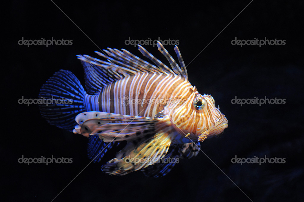 Red lionfish - Pterois volitans in front of a dark background. — Stock Photo #11460908