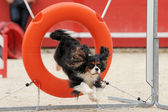 Saut de cavalier king charles — Photo
