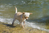 Puppy chihuahua in the river — Stock Photo