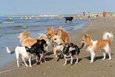 Chihuahuas on the beach — Stok fotoğraf