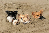 Chihuahuas in the sand — Stock Photo
