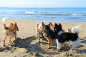 Чихуахуа на пляже — Стоковое фото