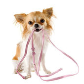 Chihuahua and leash — Stok fotoğraf