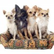 Stock Photo: Chihuahuon sofa