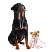 Dogs with collar and leash — Stock Photo