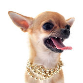 Angry chihuahua — Stock Photo
