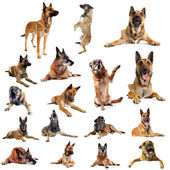 Malinois — Stock Photo