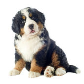 Puppy bernese moutain dog — Stock Photo