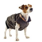 Jack terrier russel con abrigo — Foto de Stock