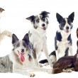 Border collies — Stock Photo #12563361