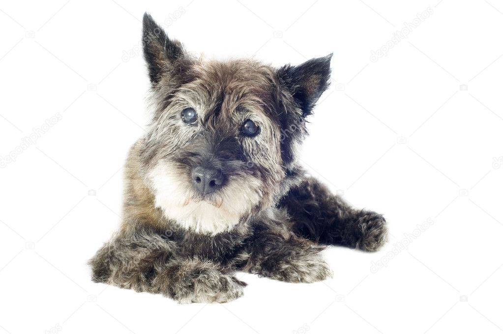 Senior cairn terrier, 14 years old, in front of a white background — Stock Photo #12622342