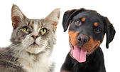 Maine coon cat and puppy rottweiler — Stock Photo