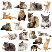 Maine coon cats — Stock Photo