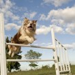 Jumping  border collie — Stok fotoğraf