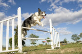 Saut de border collie — Photo