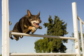 Kelpie in agility — Stock Photo