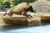 Malinois jumping in the river — Stock Photo
