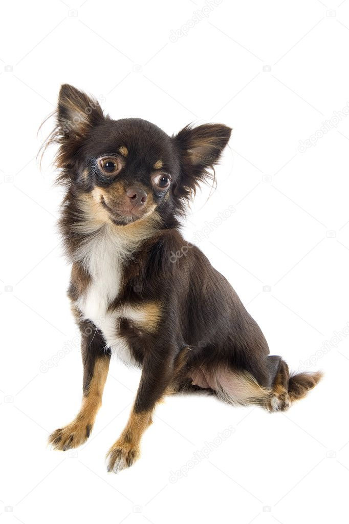 Portrait of a cute purebred  puppy chihuahua in front of white background — Stock Photo #13133387