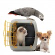 Kitten in pet carrier, parrot and chihuahua — Stock Photo
