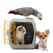 Kitten in pet carrier, parrot and chihuahua — Stok fotoğraf