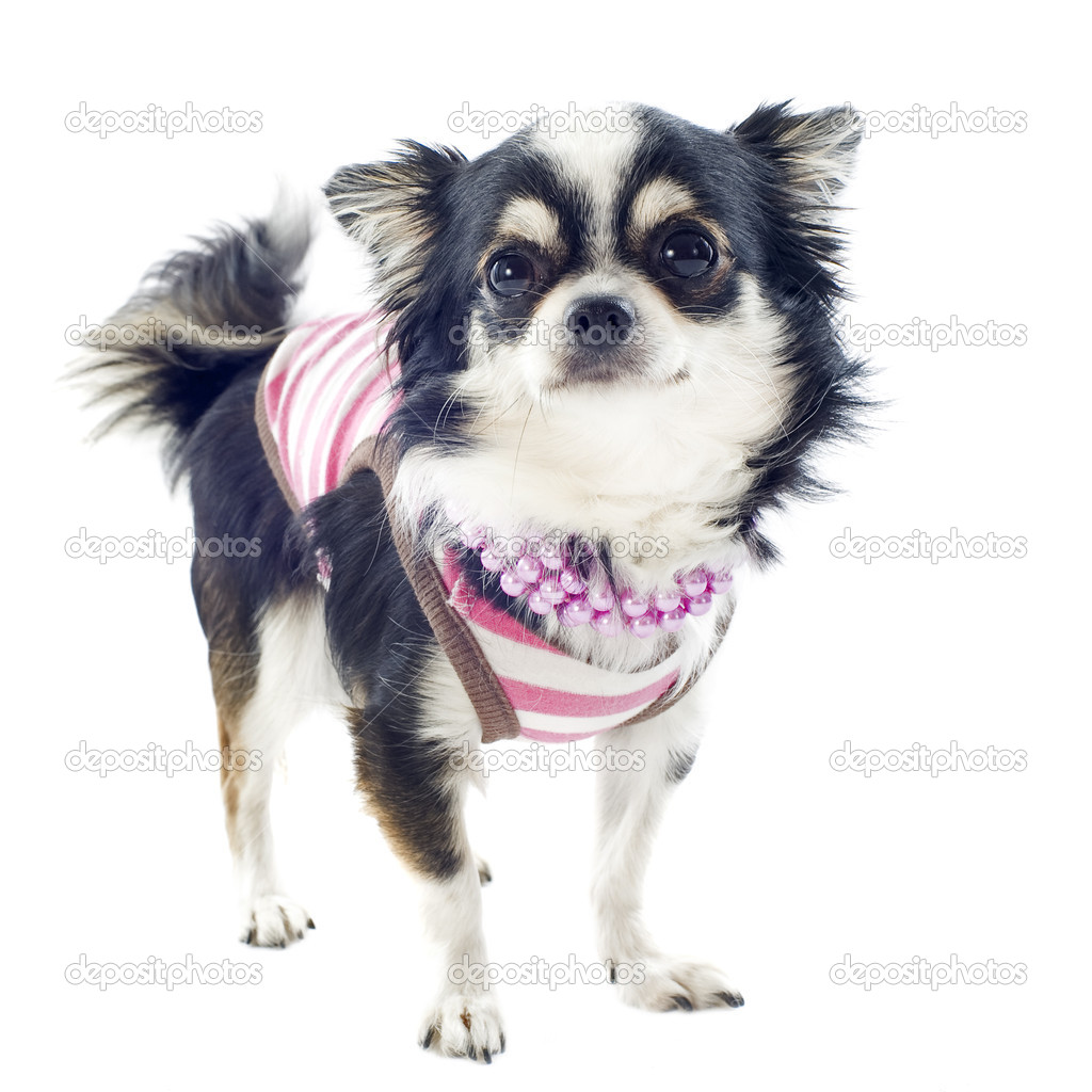 Portrait of a cute purebred  chihuahua with Tshirt in front of white background — Stock Photo #13495488