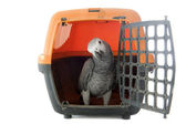 African Grey Parrot in kennel — Stock Photo