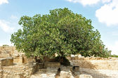 Fig tree — Stock Photo