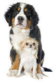 Puppy bernese moutain dog and chihuahua — Stock Photo