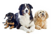 Three dogs — Stock Photo
