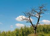 Vecchio albero nel campo — Foto Stock