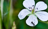 Flower Macro photo with Ant — Stock Photo