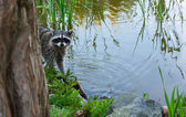Racoon in the brush on the lake. — Stock Photo