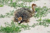 A little ostrichs on the sand ostrich farm — Stock Photo